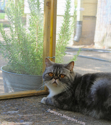 Popoki the cat in her catio