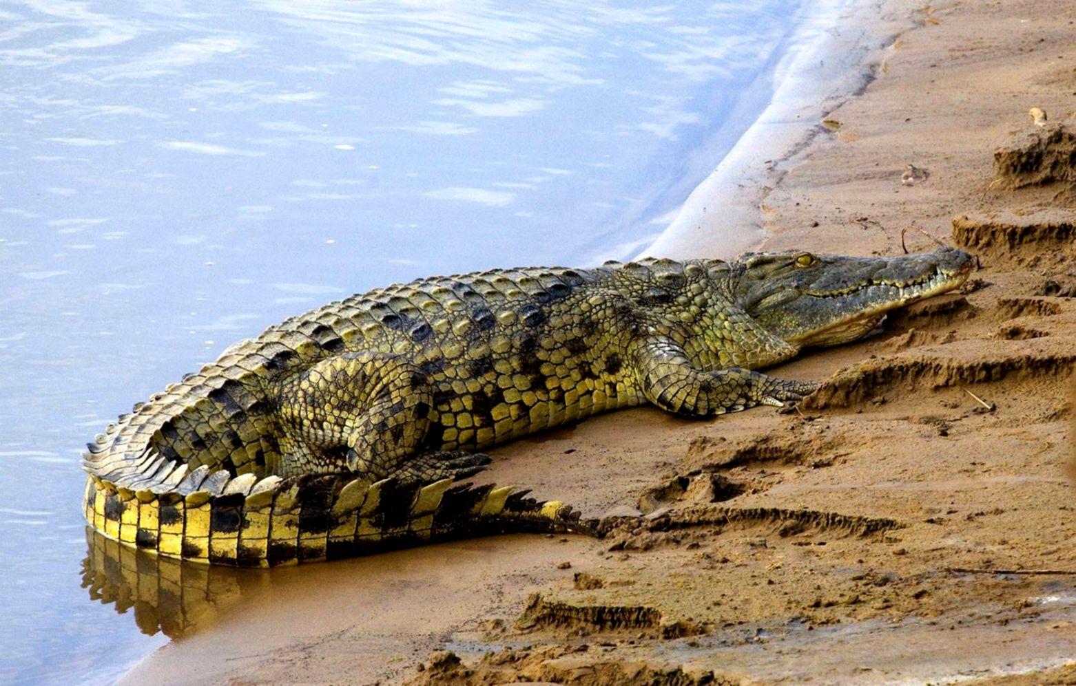 crocodile hd wallpaper wallpapers