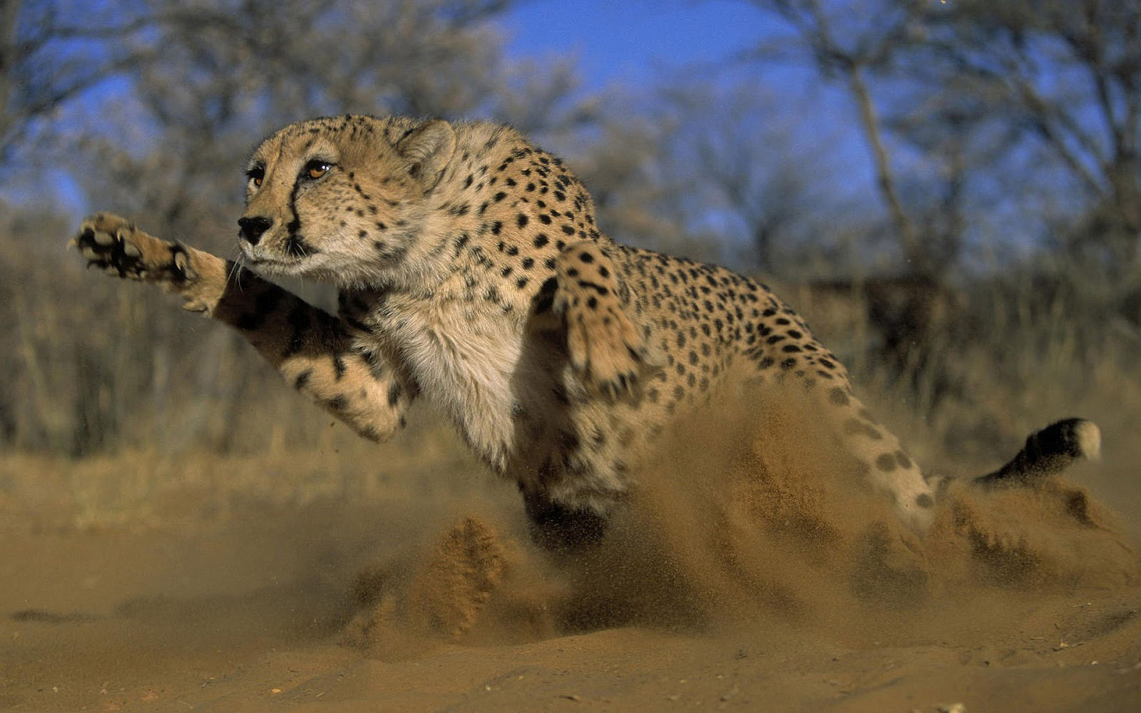 What Do Jaguars Eat >> Picture of a attacking cheetah