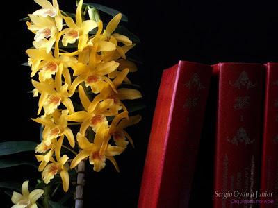 Flores da orquídea Dendrobium Stardust 'Chiyomi'