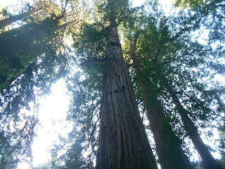 coastal redwood trees