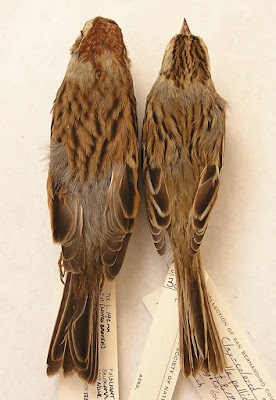 comparison of Clay-coloured and Chipping Sparrows