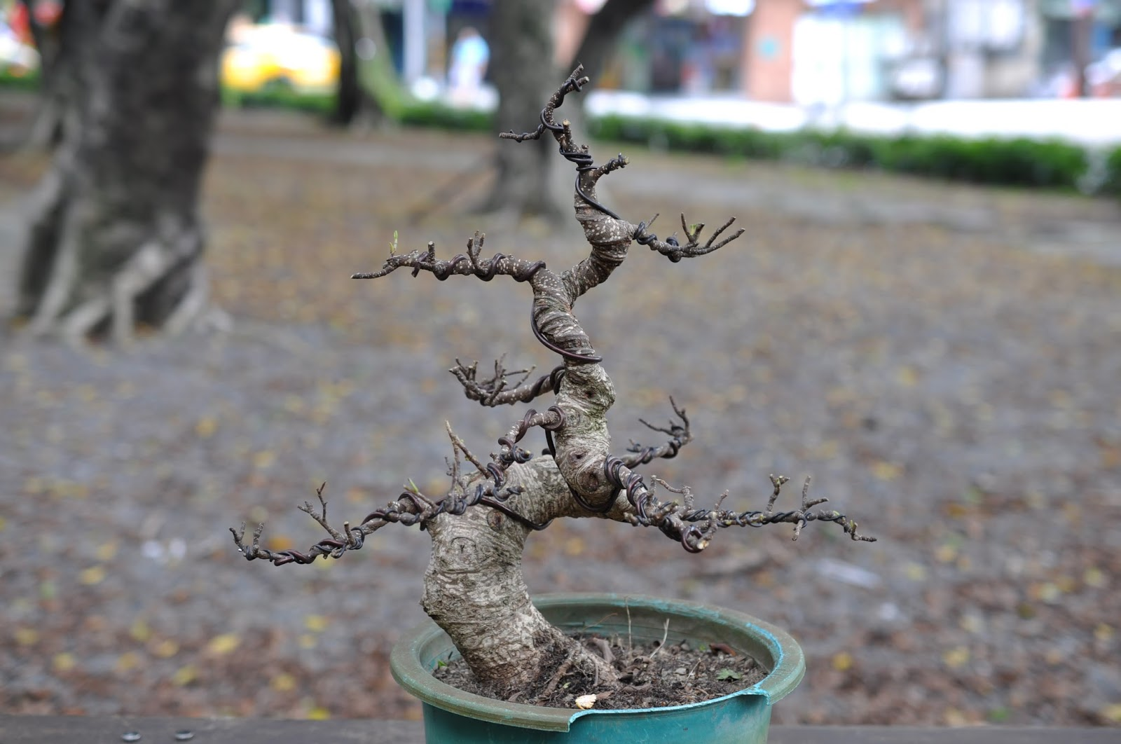 all in one bonsai and ceramics fantastic ficus rh allinonebonsai blogspot com