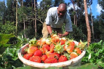 strawberry farming in kenya, George Muturi