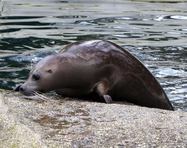 Tierpark Neumünster: Eine supersüße Seehunddame und eine Frühjahrsverlosung Seehund Seehündin Seehunde Zoo Seehundbecken Verlosung Gewinnspiel Dorle