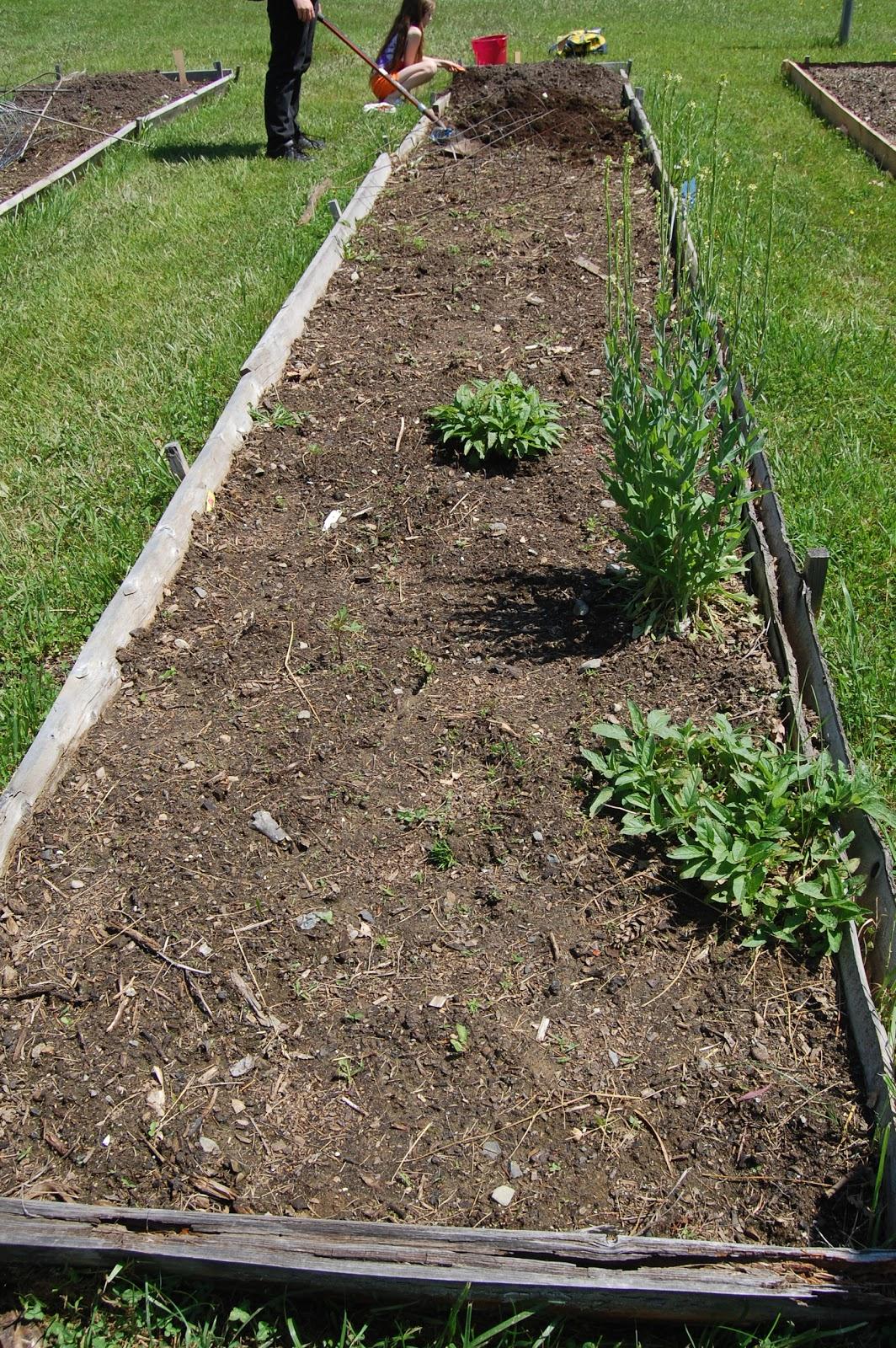 Sprouts: Caroline's Community Garden Plot: Take 2