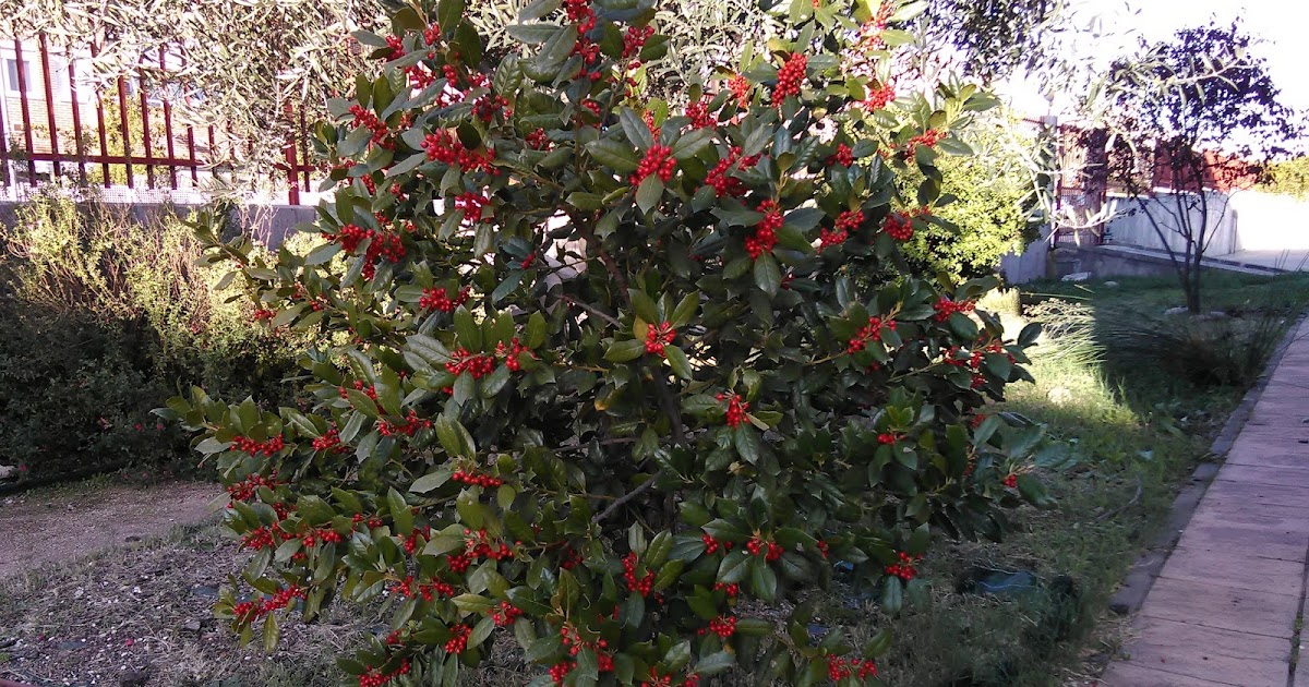 El huerto del palomar rboles de hoja perenne for Ejemplos de arboles de hoja perenne