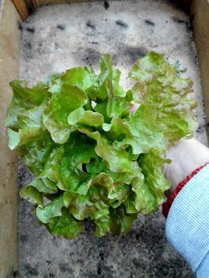 Orto di novembre: la prima lattuga raccolta