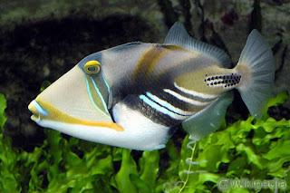 Tigerfish / Ikan ayam-ayam