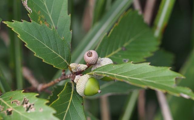 Bellotas de ROBLE SERRADO Quercus serrata
