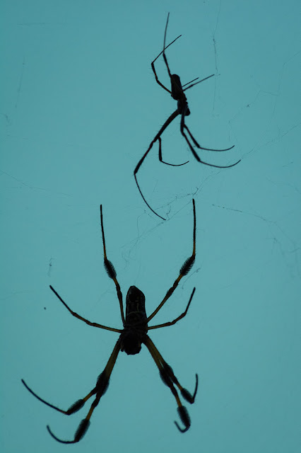 Golden Silk Orb-Weavers, Smith Oaks Sanctuary