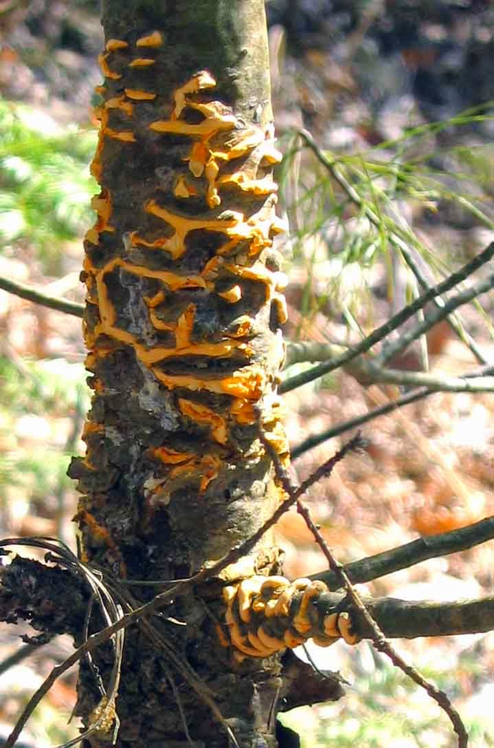 Cronartium ribicola rust fungus on white pine