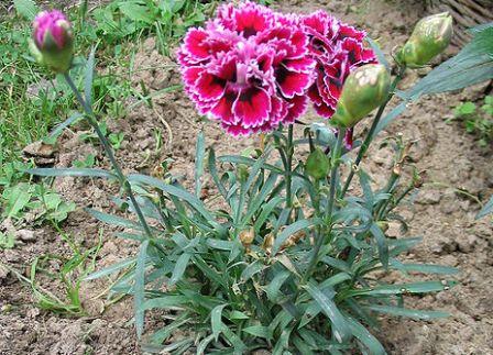 9 Khasiat Bunga Anyelir Untuk Kesehatan Dan Kecantikan