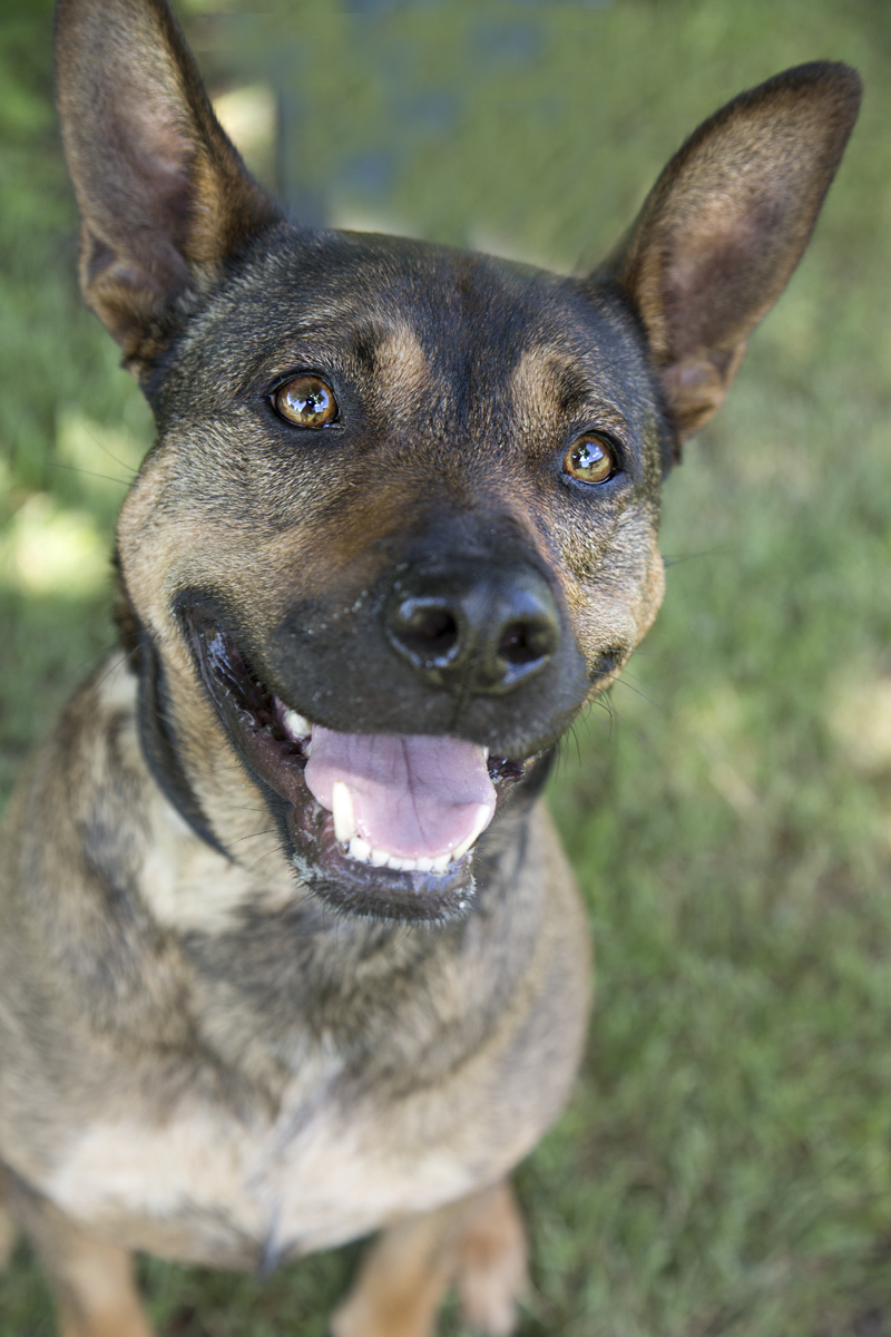 rat terrier german shepherd mix shelter dogs of portland quot mi lexi lu quot a charming german 8756