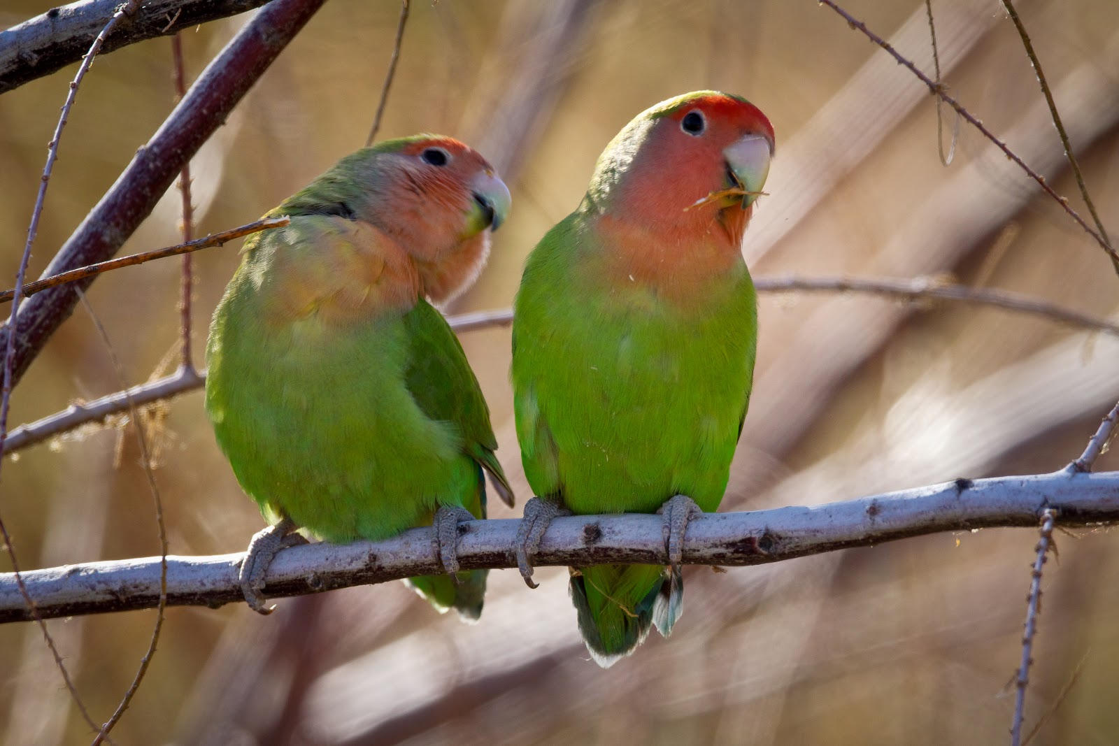 towns lovebirds by glassesgator - photo #20