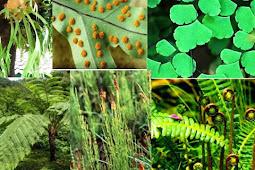 Tumbuhan Paku (Pteridophyta) Ciri-Ciri Beserta Penjelasannya