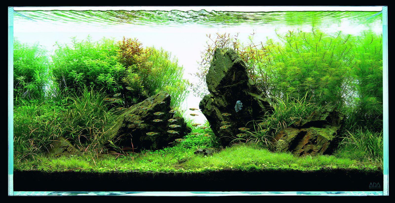 Cây xương cá xanh được trồng hậu cảnh, góc phải trong hồ thủy sinh này