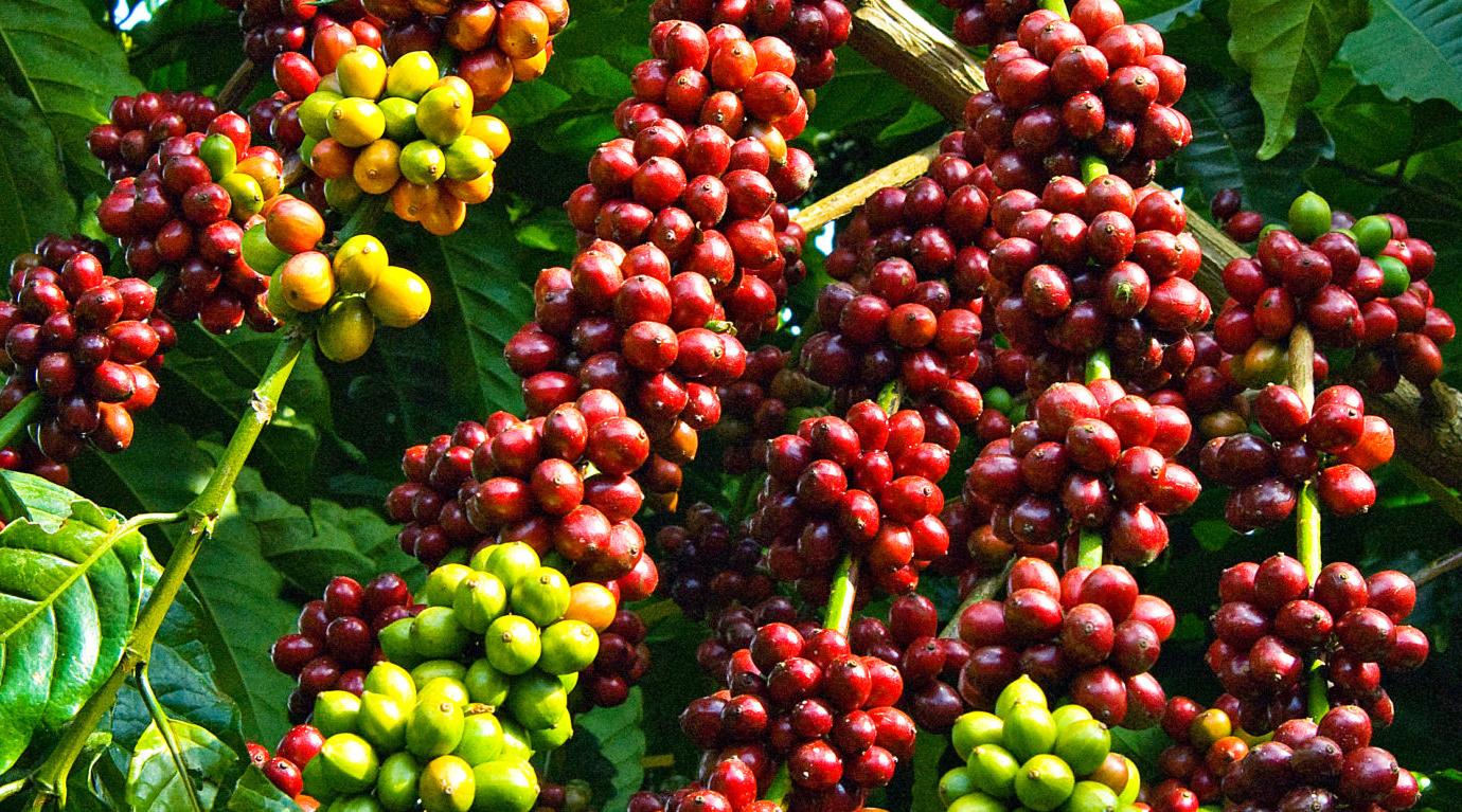 buah kopi sangat enak daun warna dan rasa kopi toraja