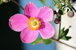 bunga anemon pink