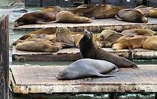 leões marinho em San Francisco