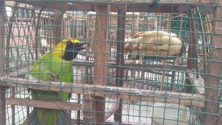 Sekilas Info Tentang Burung (Berita Burung) - Uus Cs Dibekuk karena Tangkap 15 Burung di Taman Nasional Gunung Leuser