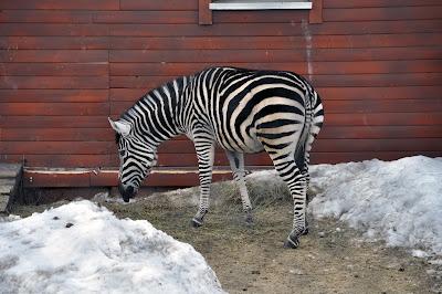 Зебра. Челябинский зоопарк. Февраль 2016