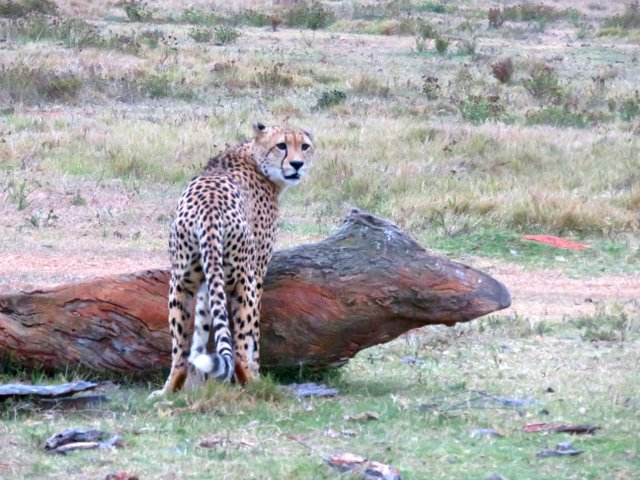 cheetah at Shamwari Game Reserve