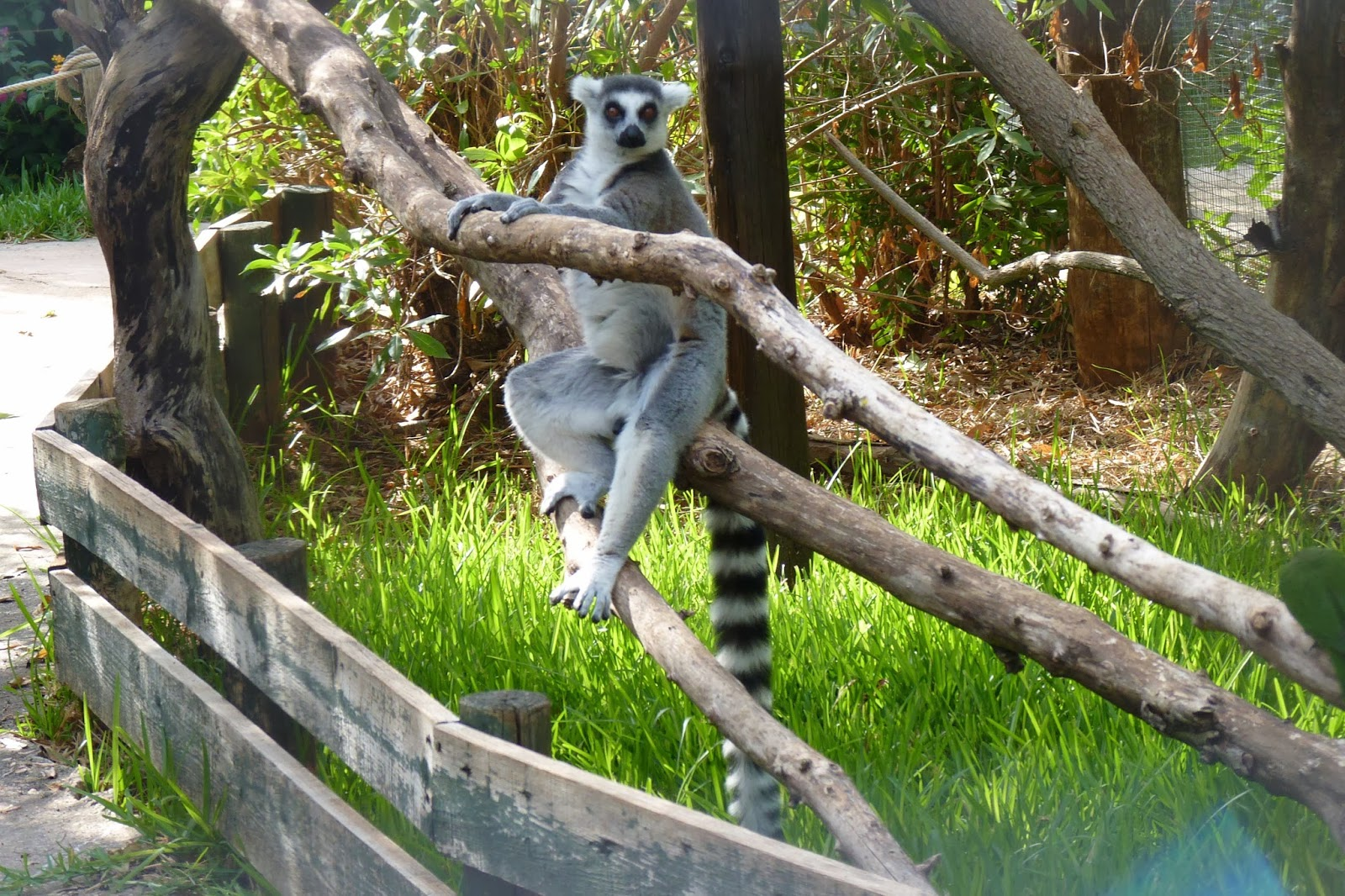 Krazy World, lemures.