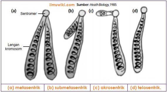 Tipe atau Bentuk-Bentuk Kromosom - Metasentrik, Submetasentrik, Akrosentrik, Telosentrik