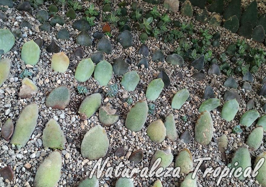Método de multiplicación asexual por hojas de plantas suculentas