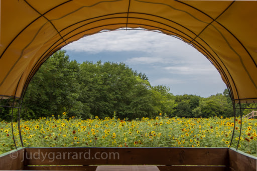 Covered wagon and sunflowers