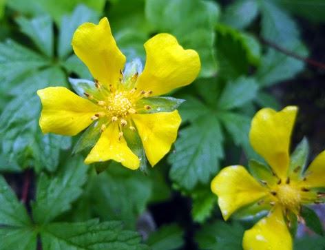 Cincoenrama (Potentilla reptans) flor amarilla