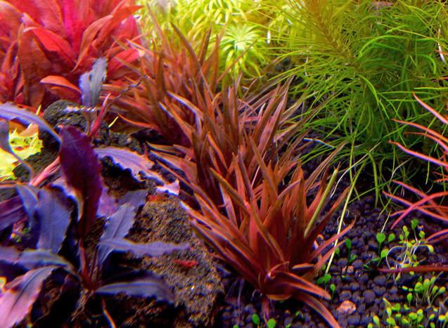 Dùi trống Ấn Độ luôn nổi bật bên cạnh những cây thủy sinh khác