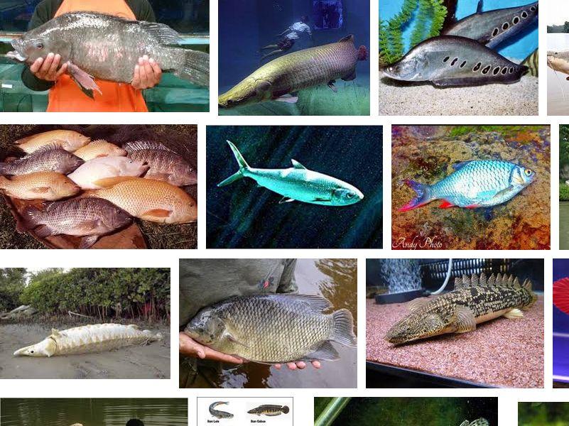 10 Ikan Air Tawar yang Dapat Tumbuh Sangat Besar