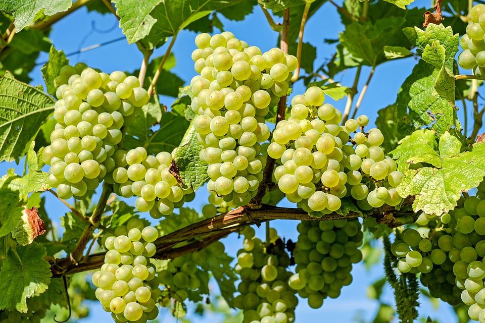 Jasa Tukang taman Surabaya Pohon Buah tidak tinggi buah anggur