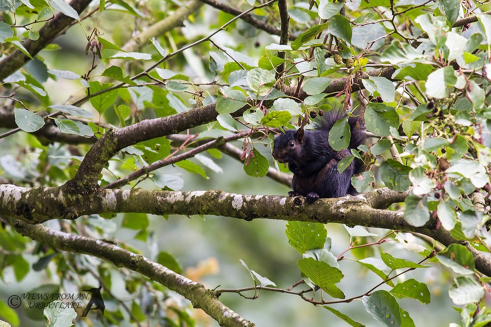 Black Squirrel (a grey really genetic anomaly in the Woburn area).