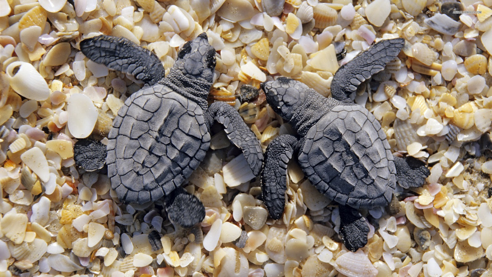Kemps Ridley Sea Turtle Shell Your Wallpaper: Baby A...