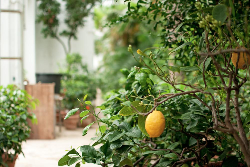 citron dans une des serres du jardin des simples de Florence