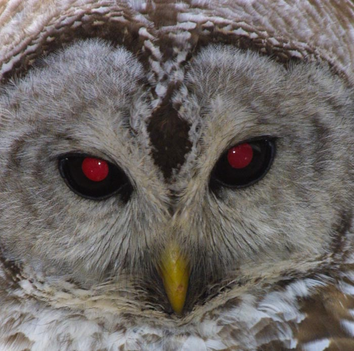 eyes animals eye nocturnal owl night barred nature those