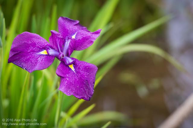 紫色の菖蒲の写真