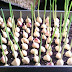 Nu îl mai cumpăra niciodată din comerț! Iată cum să cultivi usturoi la tine acasă!