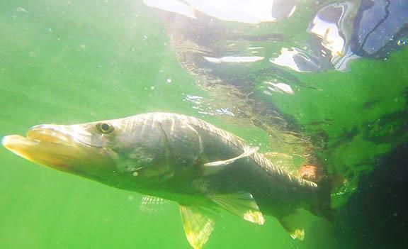 Snook Underwater GoPro Shot