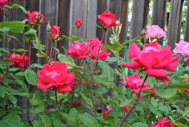 Bài văn tả hoa hồng