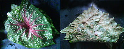 Spotted Colocasia Leaves