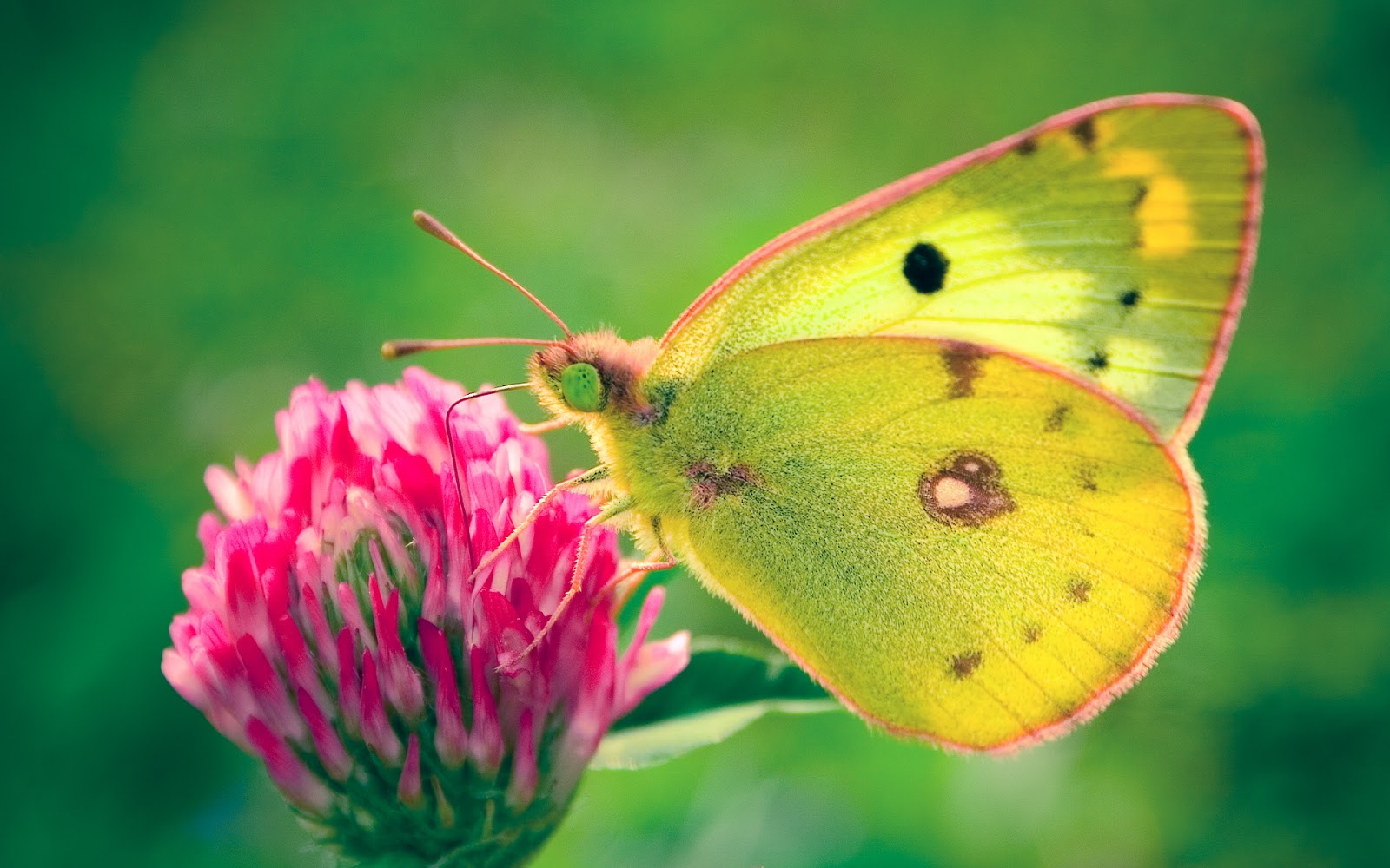 beautiful hd butterfly wallpapers