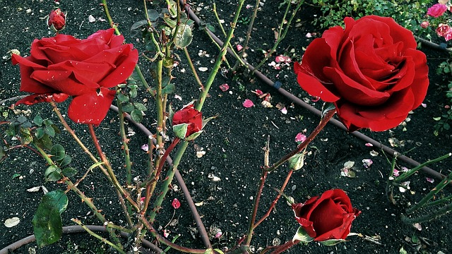 Thorny rose plant with bright red roses