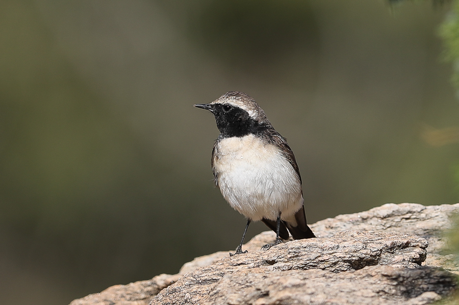 Arabian Wheatear