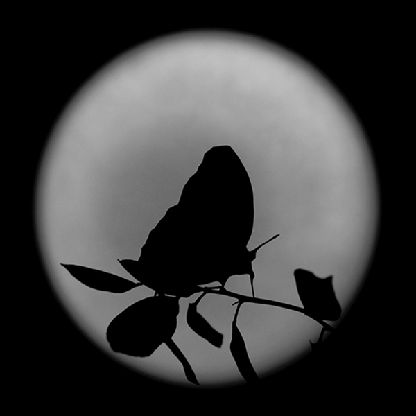 Full Moon Butterfly