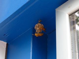 Polistes olivaceus - Guêpe jaune de la Réunion