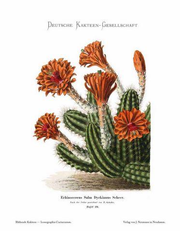 Iconographia Cactacearum. La colección de ilustraciones 'Cactus en Flor'